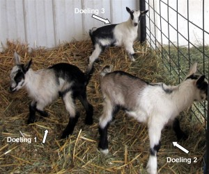 Doeling 1 left, doeling 2 rt, doeling 3 in back labeled